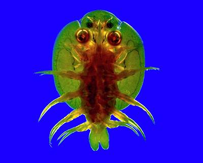 Fish Cup Photograph - Fish Louse by Dr Keith Wheeler