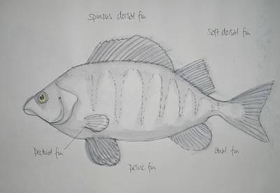 Animals Drawings - Fish by Michelle Deyna-Hayward