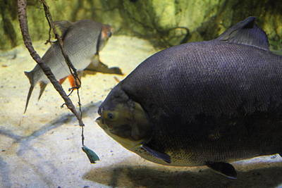 Fish - National Aquarium In Baltimore Md - 1212125 Art Print by DC Photographer