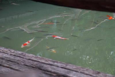 Fish - Panviman Chiang Mai Spa And Resort - Chiang Mai Thailand - 01132 Art Print by DC Photographer