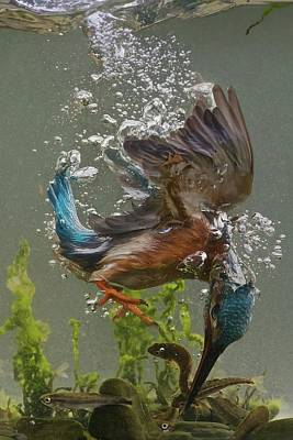 Kingfisher Wall Art - Photograph - Fisherman by Ray Cooper