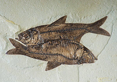 Photograph - Fishes Fossil by Millard H Sharp