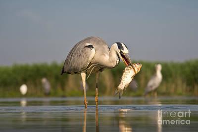 Grey Heron Photograph - Fishing Grey Heron by Eszter Kovacs