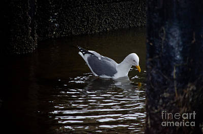Photograph - Fishing Gull by Adria Trail