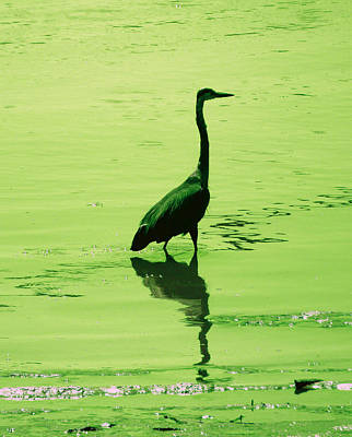 Photograph - Fishing Heron by Laurie Tsemak