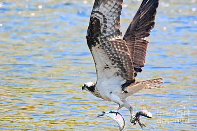 Photograph - Fishing Osprey by Alana Ranney