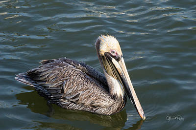 Photograph - Fishing Pelican by Susan Molnar
