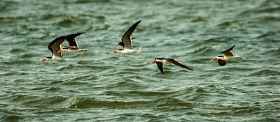 Photograph - Five Fly by Alistair Lyne