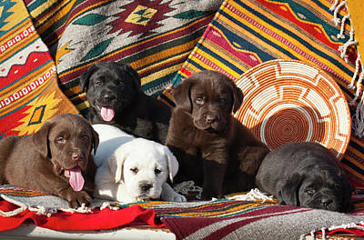 Five Labrador Retriever Puppies Of All Art Print