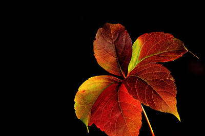 Photograph - Five Leaves by Marwan Khoury