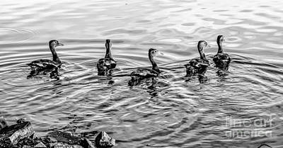 Photograph - Five Little Ducks-bw by Kathleen K Parker