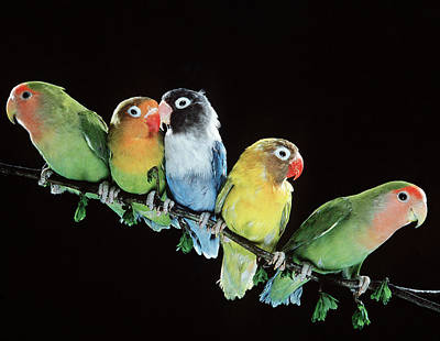 Rosy-faced Lovebird Photograph - Five Lovebirds by Jean-Michel Labat