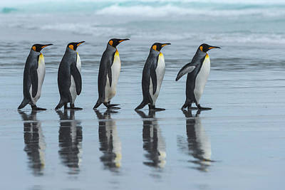 Penguin Wall Art - Photograph - Five Online by Miquel Angel Art??s