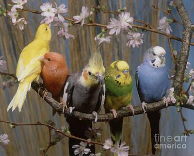 Budgie Photograph - Five Parakeets Budgies by Hans Reinhard