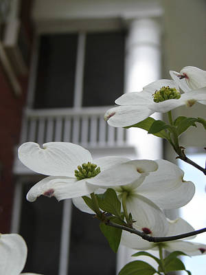 Photograph - Five Points Dogwood Athens Georgia by Sally Ross