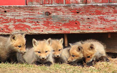 Photograph - Five Red Fox Kits And Red Barn by John Burk