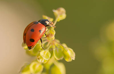 Photograph - Seven Spot Ladybug Climber by Kathryn Whitaker