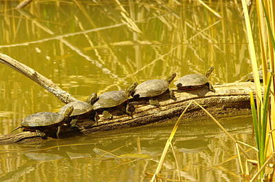 Five Turtles On A Log Art Print