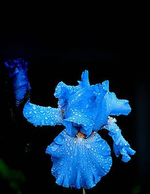 Winter Animals - Flag BLUE IRIS in rain by Randall Branham