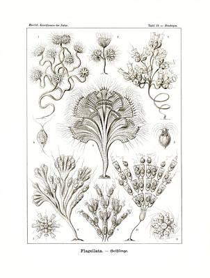 Art In Nature Drawing - Flagellata by Ernst Haeckel