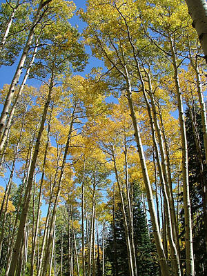 Photograph - Flagstaff Aspens 794 by Mary Dove