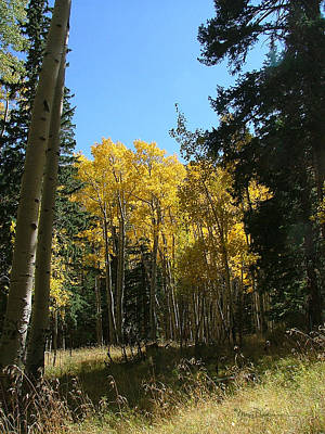 Photograph - Flagstaff Aspens 801 by Mary Dove