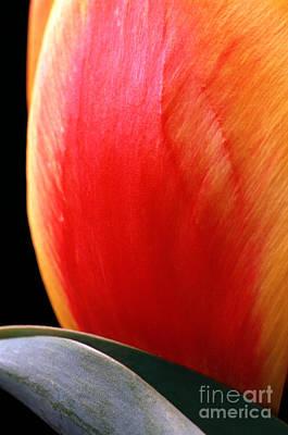 Photograph - Flair Tulip by Carl Perkins