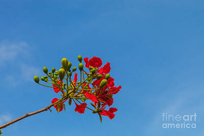 Photograph - Flamboyant  by Diane Macdonald