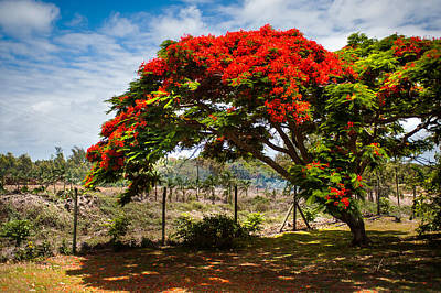 Flamboyant In Glorious Bloom. Mauritius Art Print by Jenny Rainbow