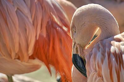 Photograph - Flamboyant Pink Flamingo by Jason Politte