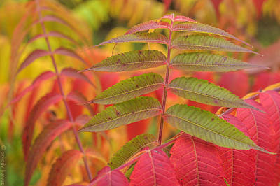 Photograph - Flamboyant Sumac by Arkady Kunysz