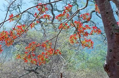 Flamboyant Tree (delonix Regia) Art Print by K Jayaram