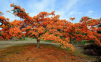 Royal Poinciana Photograph - Flamboyant Tree - St. Lucia by Brendan Reals