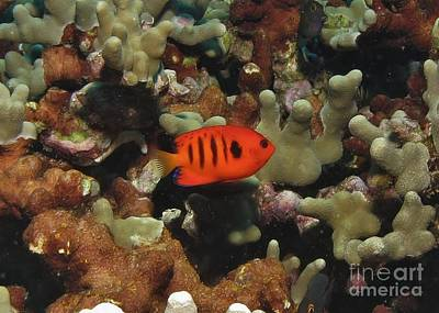 Anglefishes Photograph - Flame Angel Profile by William Miller
