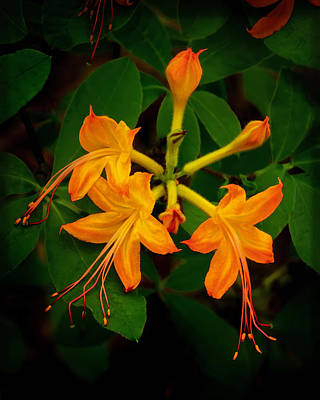 Photograph - Flame Azalea by Carolyn Derstine