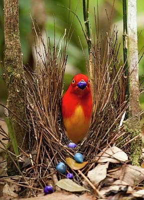 Beautiful Birds Photograph - Flame Bowerbird In Bower Animal Art by Paul D Stewart