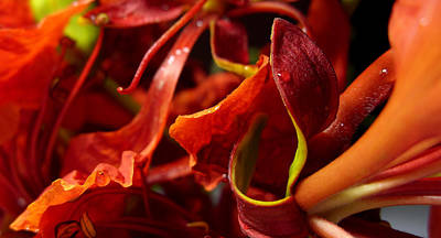 Gulmohar Photograph - Flame Of Love by Evewin Lakra