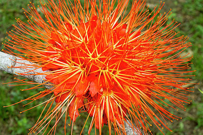 Flame Of Panama Flower (brownea Art Print by William Sutton