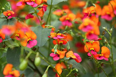 Flower Photograph - Flame Pea 2am-007927 by Andrew McInnes