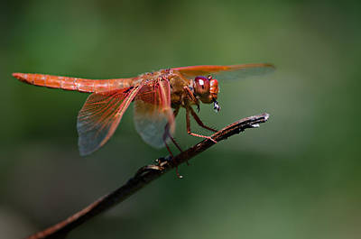 Photograph - Flame Skimmer Dragonfly by Linda Villers