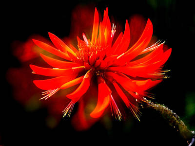 Photograph - Flame Tree Blossom by David Rich