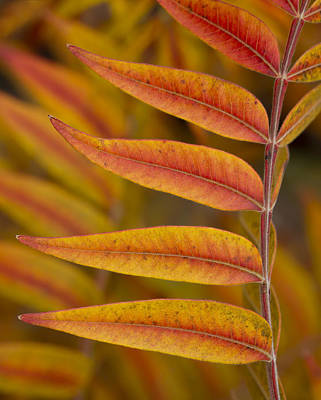 Photograph - Flameleaf Sumac Like Flames by Steven Schwartzman