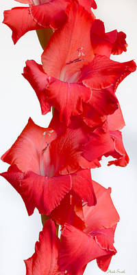 Gladiola. Red Gladiola Photograph - Flamenco by Heidi Smith