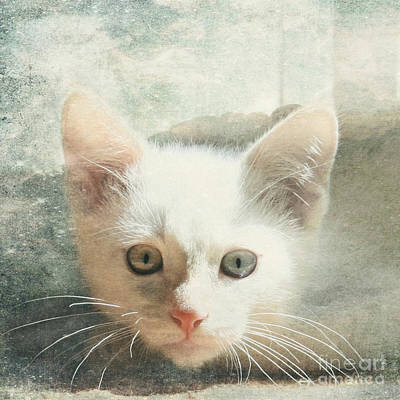 Flamepoint Siamese Kitten Art Print by Pam  Holdsworth