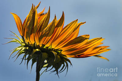 Photograph - Flaming Flower by Sonya Lang