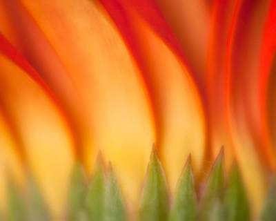 Photograph - Flaming Gerber Daisy by Joan Herwig