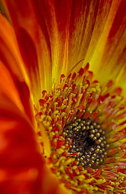 Photograph - Flaming Gerbera by Julie Palencia