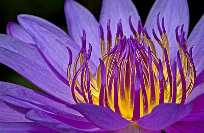 Waterlily Photograph - Flaming Heart by Susan Candelario