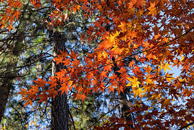Flaming Maple Beneath The Pines Art Print