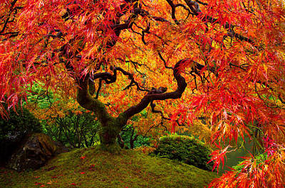 Maple Season Photograph - Flaming Maple by Darren  White